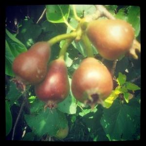 November Pears