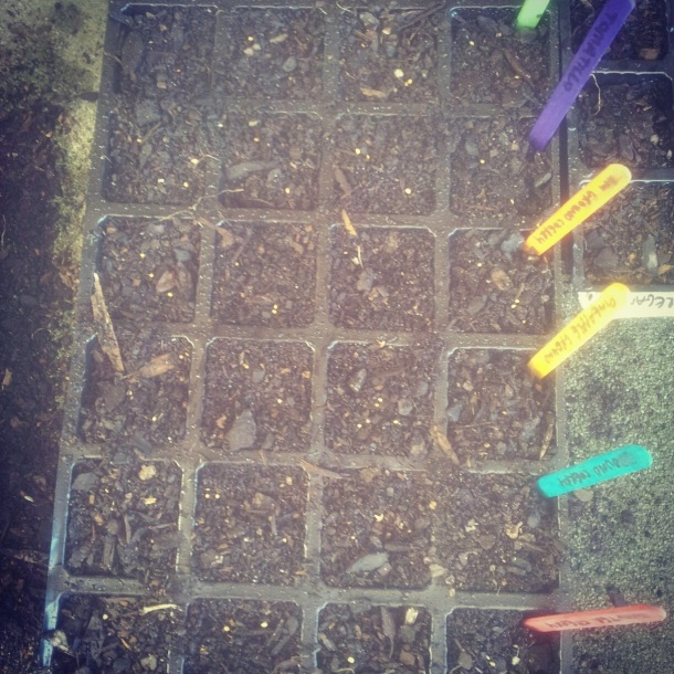 Planted out Groundcherry tray