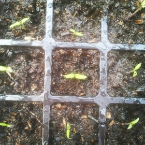 10 tomato seedlings transplanted in all.
