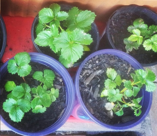 Repotted Strawberries